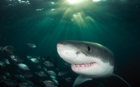 Что собой представляет акулий сквален